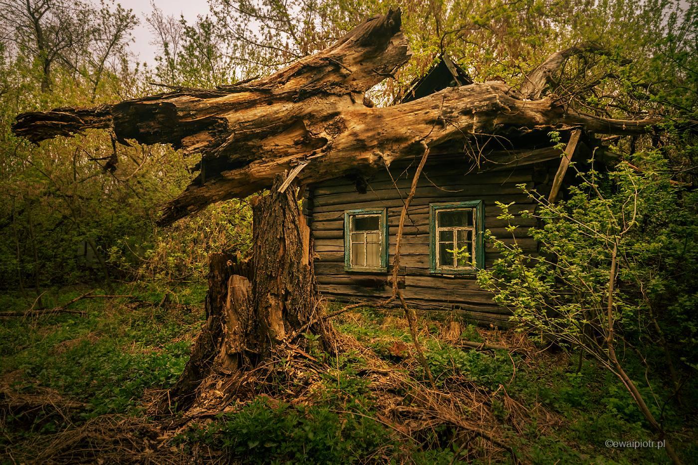 Wieś w Zonie, Czarnobyl, ruina, dom przygnieciony drzewem