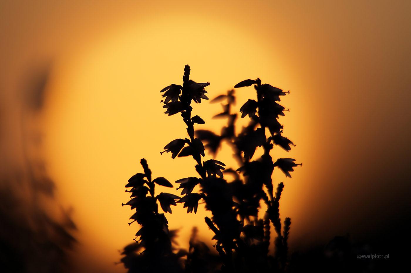 Wrzosy i słońce, Wrzosowa Kraina, warsztaty fotograficzne makrofotografia