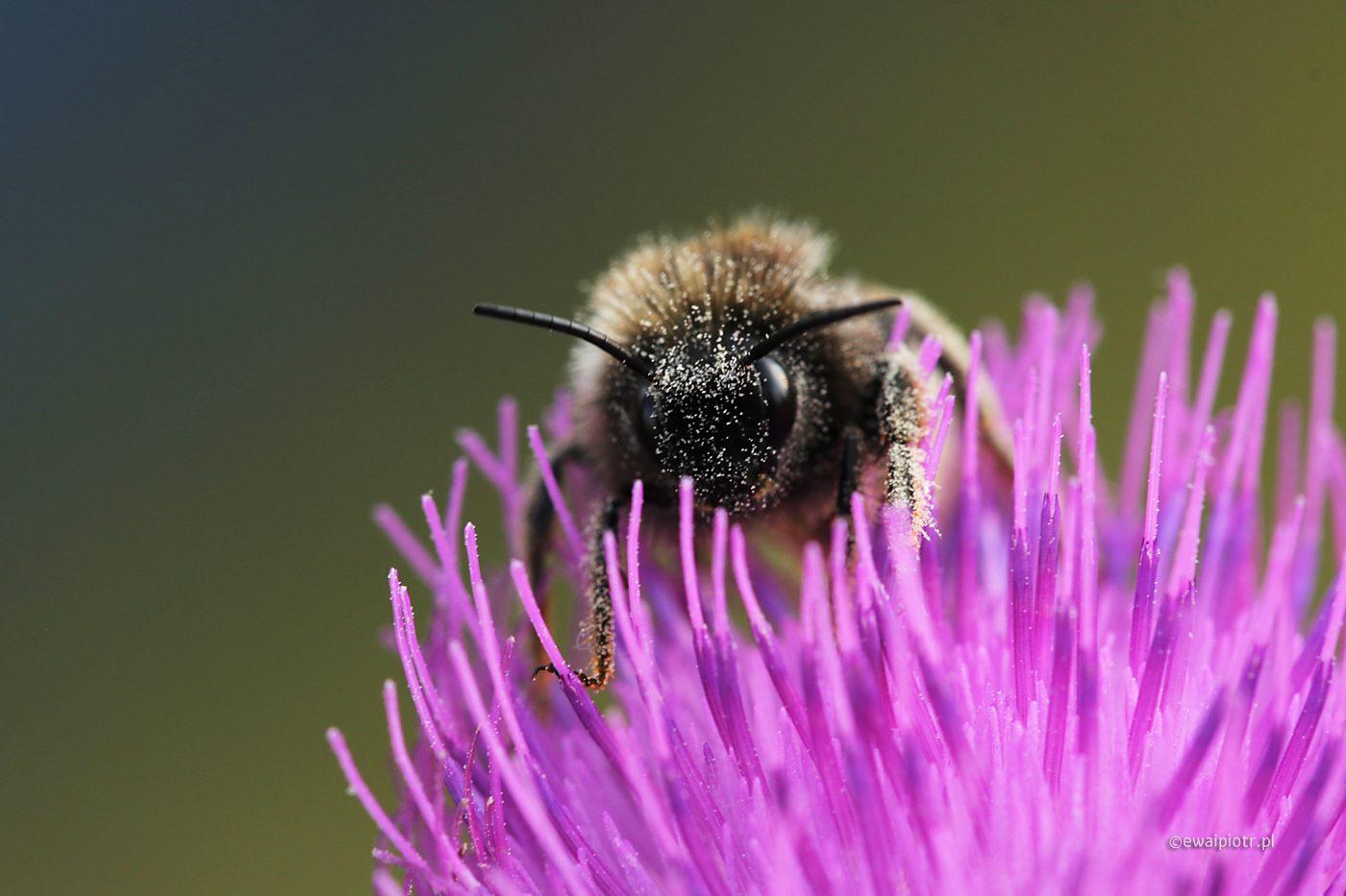 Pyłek jest pyszny, Wrzosowa Kraina, obiektyw do makro