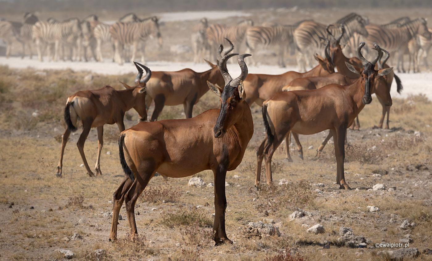 Antylopy i zebry, Namibia