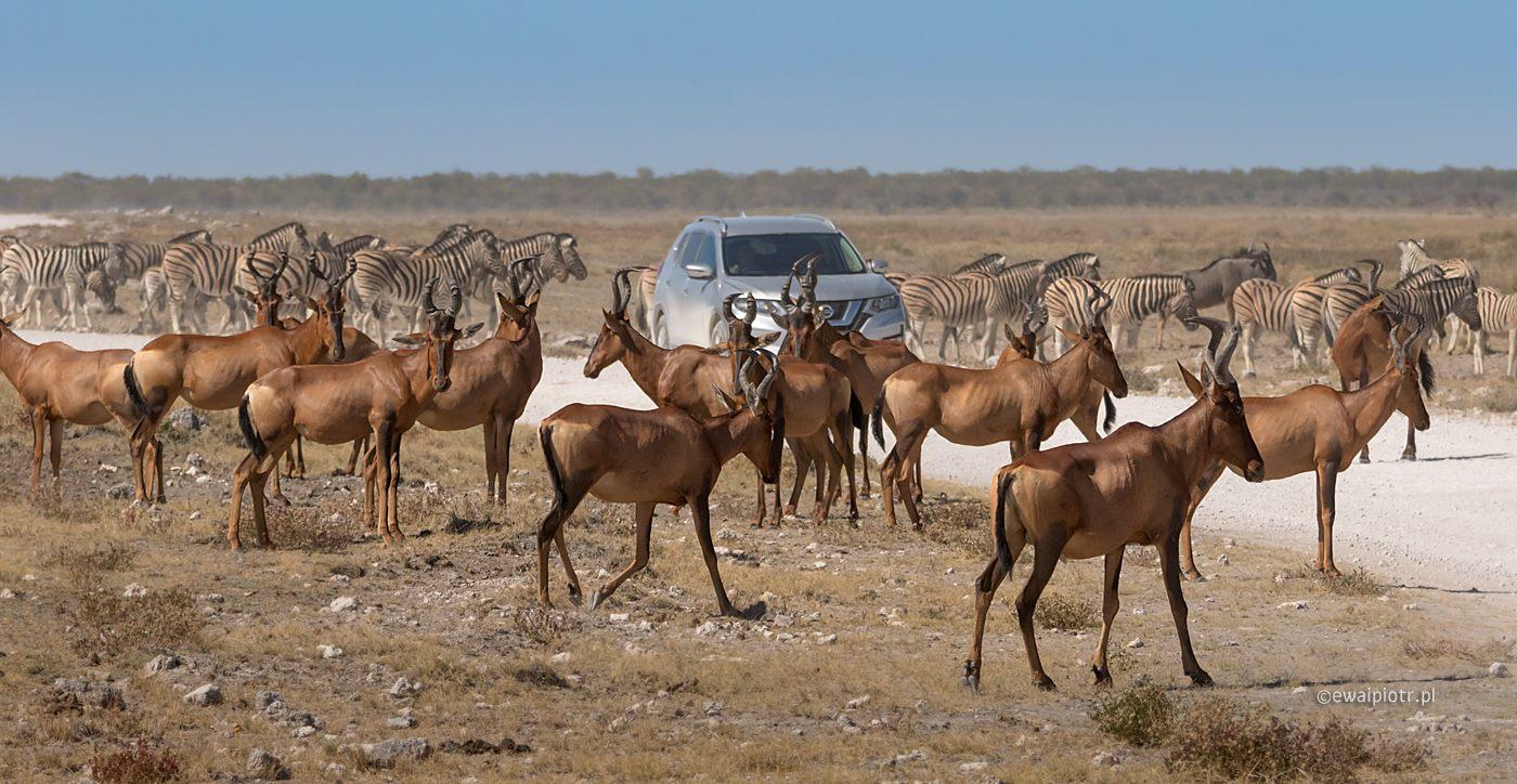 Korek na drodze, Namibia, antylopy w parku Etosza