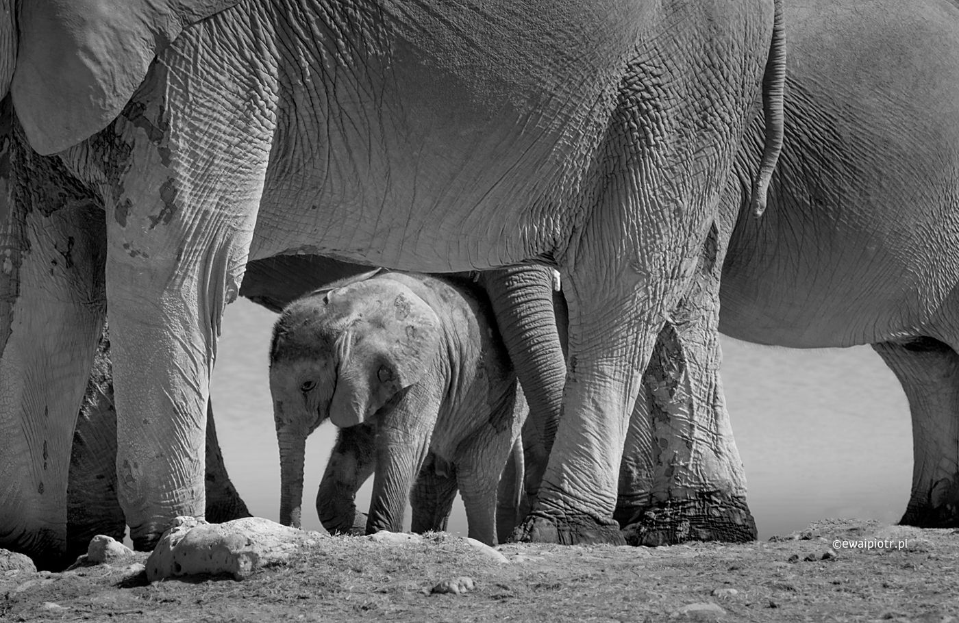 Otoczony opieką, Namibia, mały słoń pod brzuchem mamy
