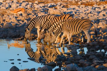 Wieczorem trzeba się napić, Namibia, zebry