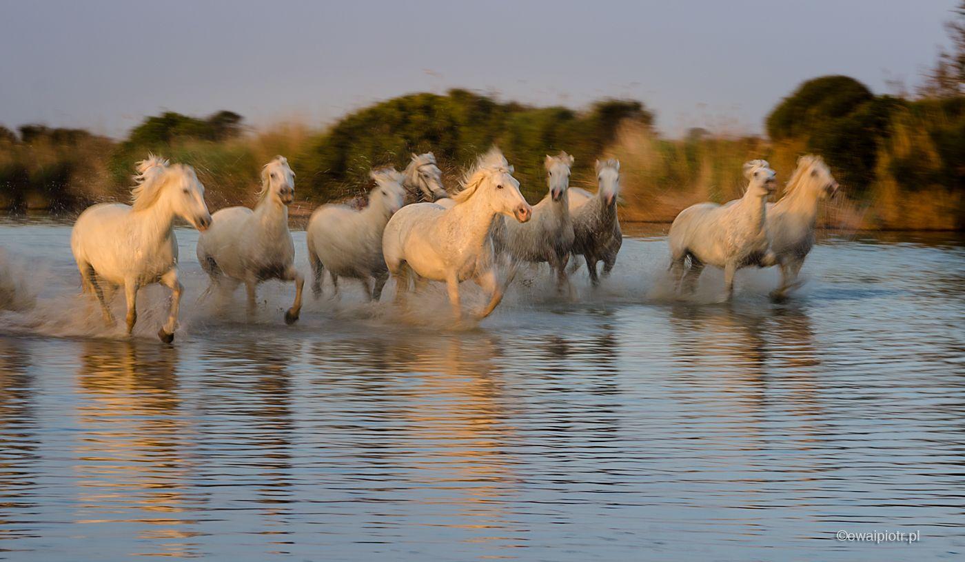 Panoramowanie koni, Prowansja, panning, warsztaty fotograficzne, fotowyprawa do Prowansji