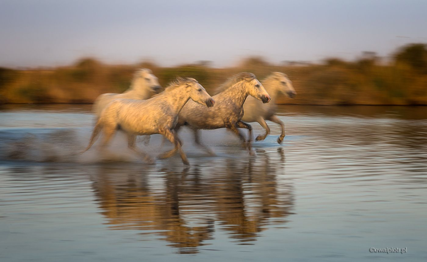 Cztery konie z Camargue, Prowansja, panoramowanie, cztery konie, w biegu