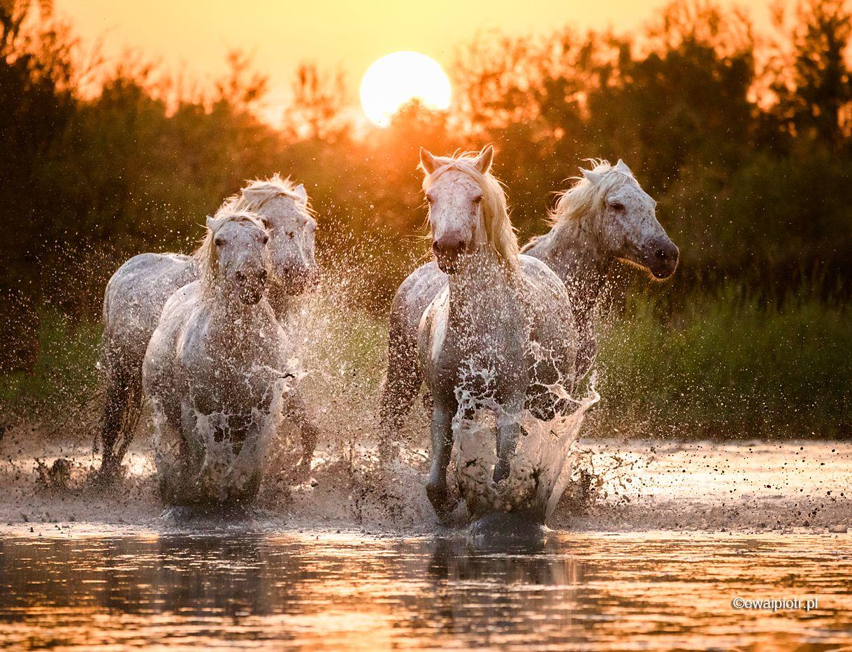 Białe konie o zachodzie słońca, Prowansja, konie biegnące po wodzie