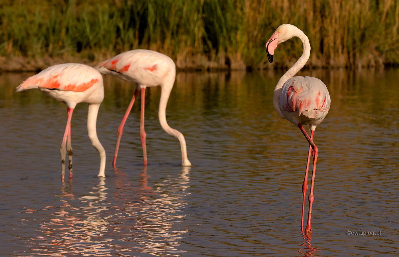 Flamingi w Pont de Gau, Prowansja, fotowyprawa do Prowansji