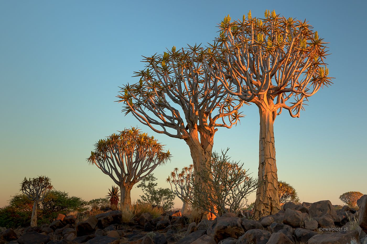 Drzewa kołczanowe, Namibia