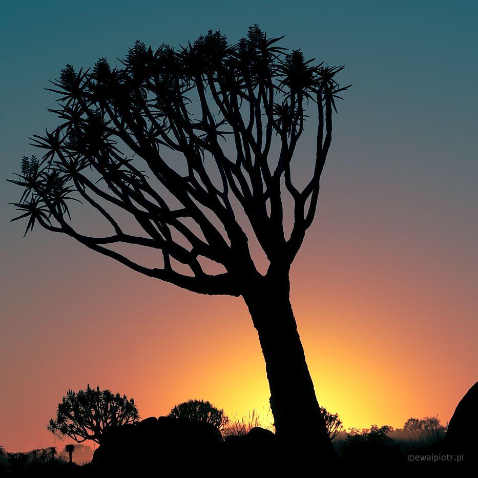 Drzewo kołczanowe, Namibia