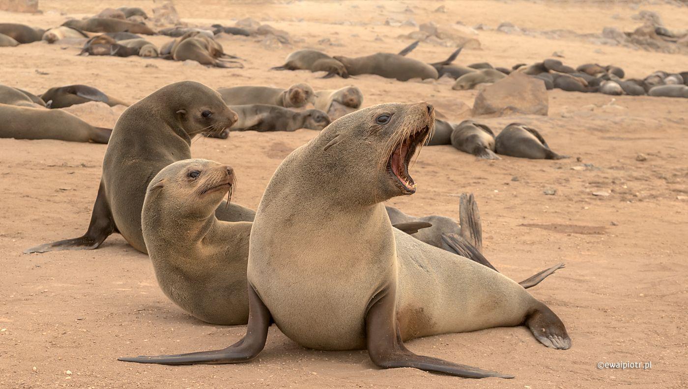 Gniew uchatki, Namibia