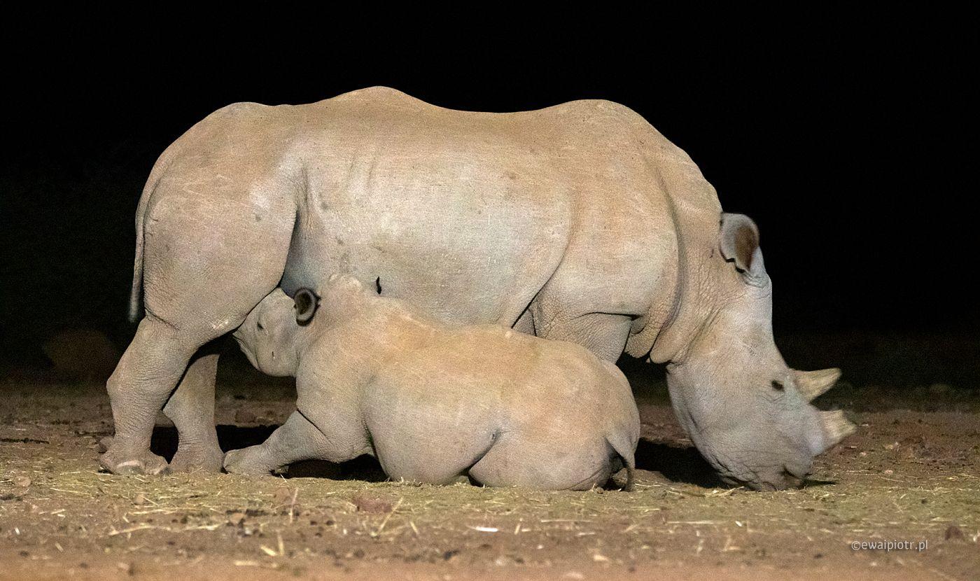 Nosorożyca i nosorożątko, Fotowyprawa Namibia