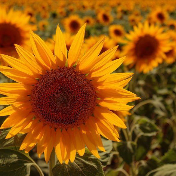 Słoneczniki spod Arles, Prowansja