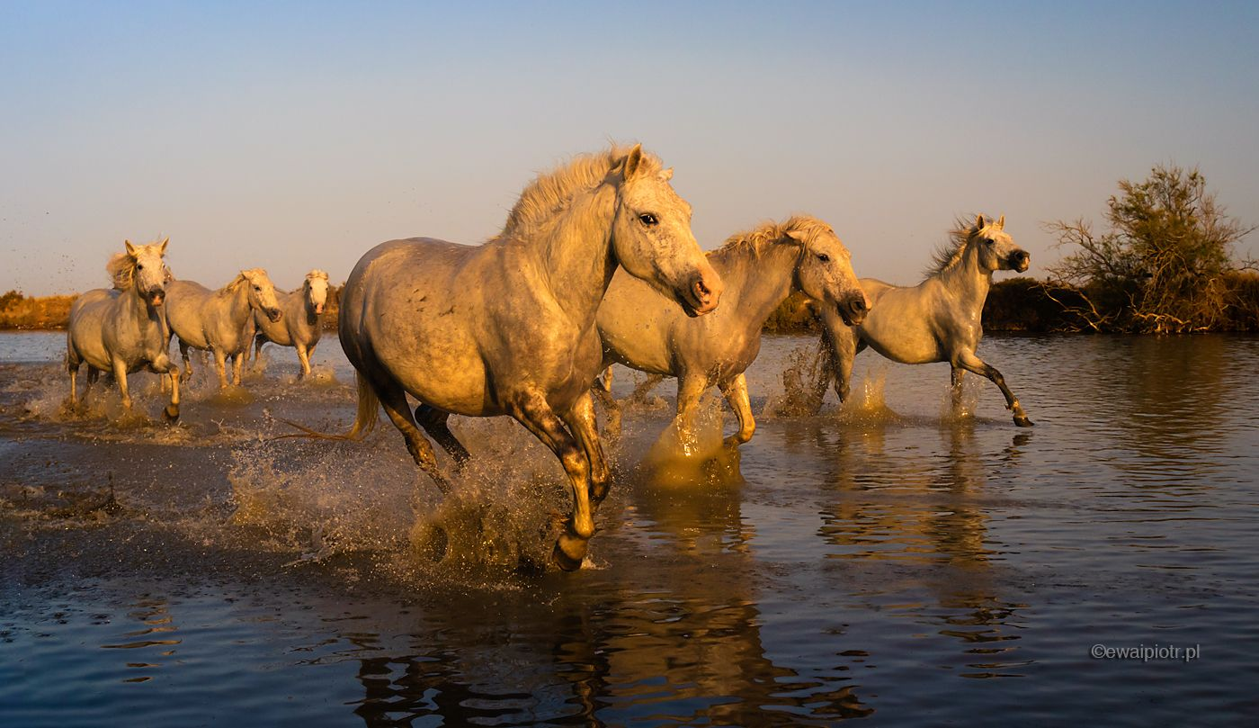 Białe konie z Camargue, Prowansja