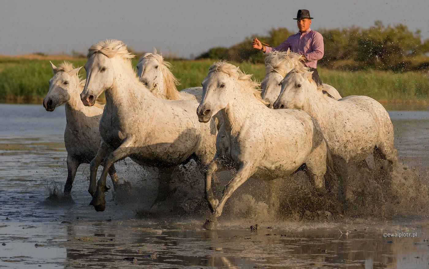 Białe konie w galopie, Camargue, Prowansja, liczba klatek na sekundę, tryb seryjny