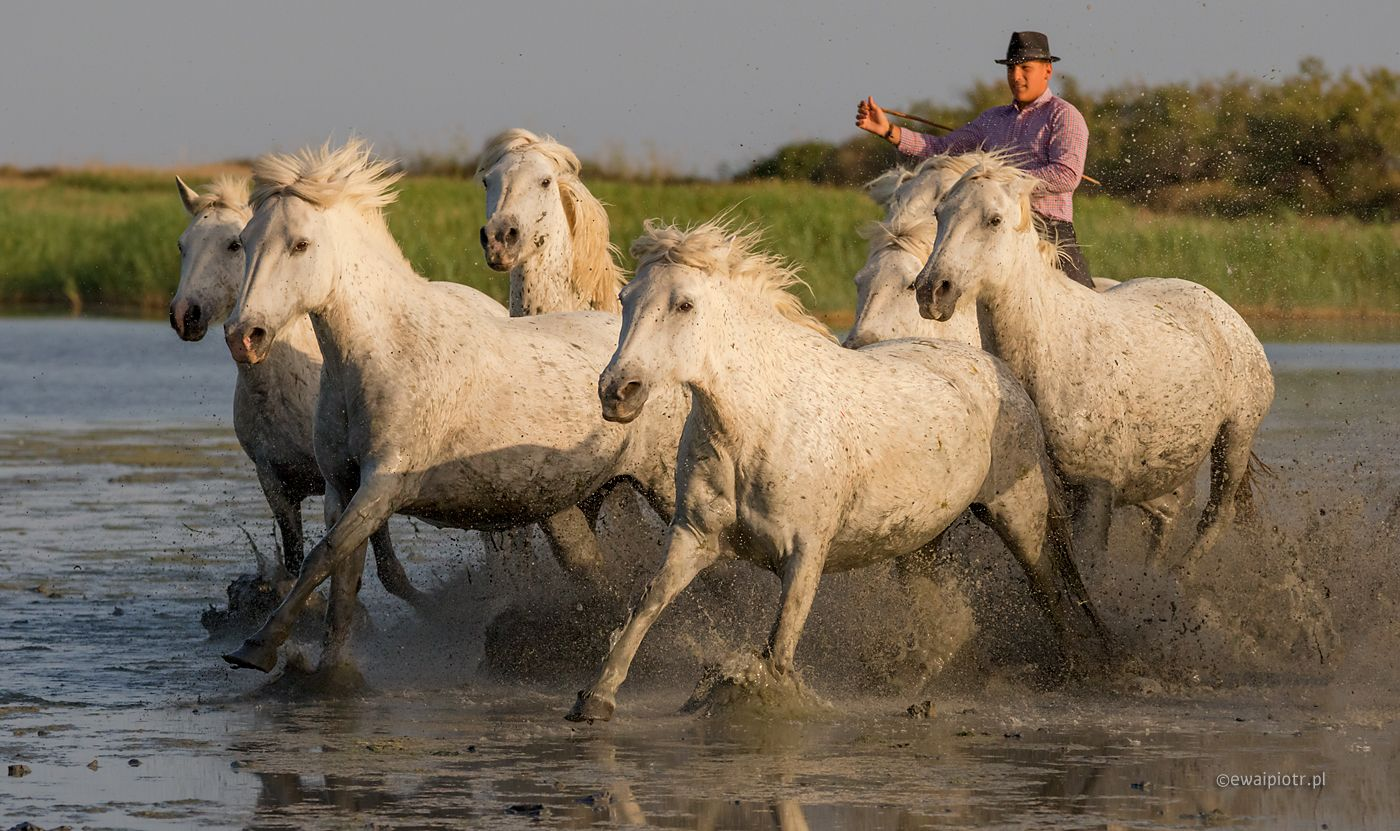 Konie z Camargue, fazy ruchu, szybkostrzelność aparatu, ile klatek na sekundę