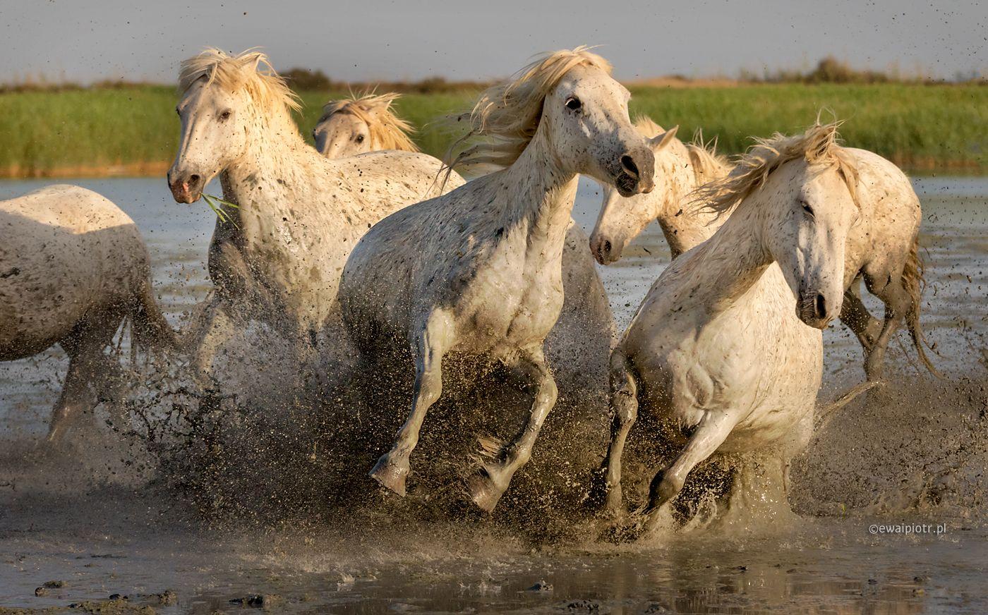 Końskie awantury, Camargue, Francja, fotografowanie koni w biegu, liczba klatek na sekundę