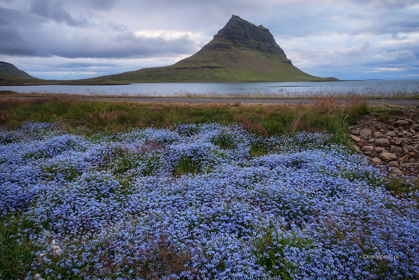 Kirkjufell i fioletowe kwiaty, Islandia