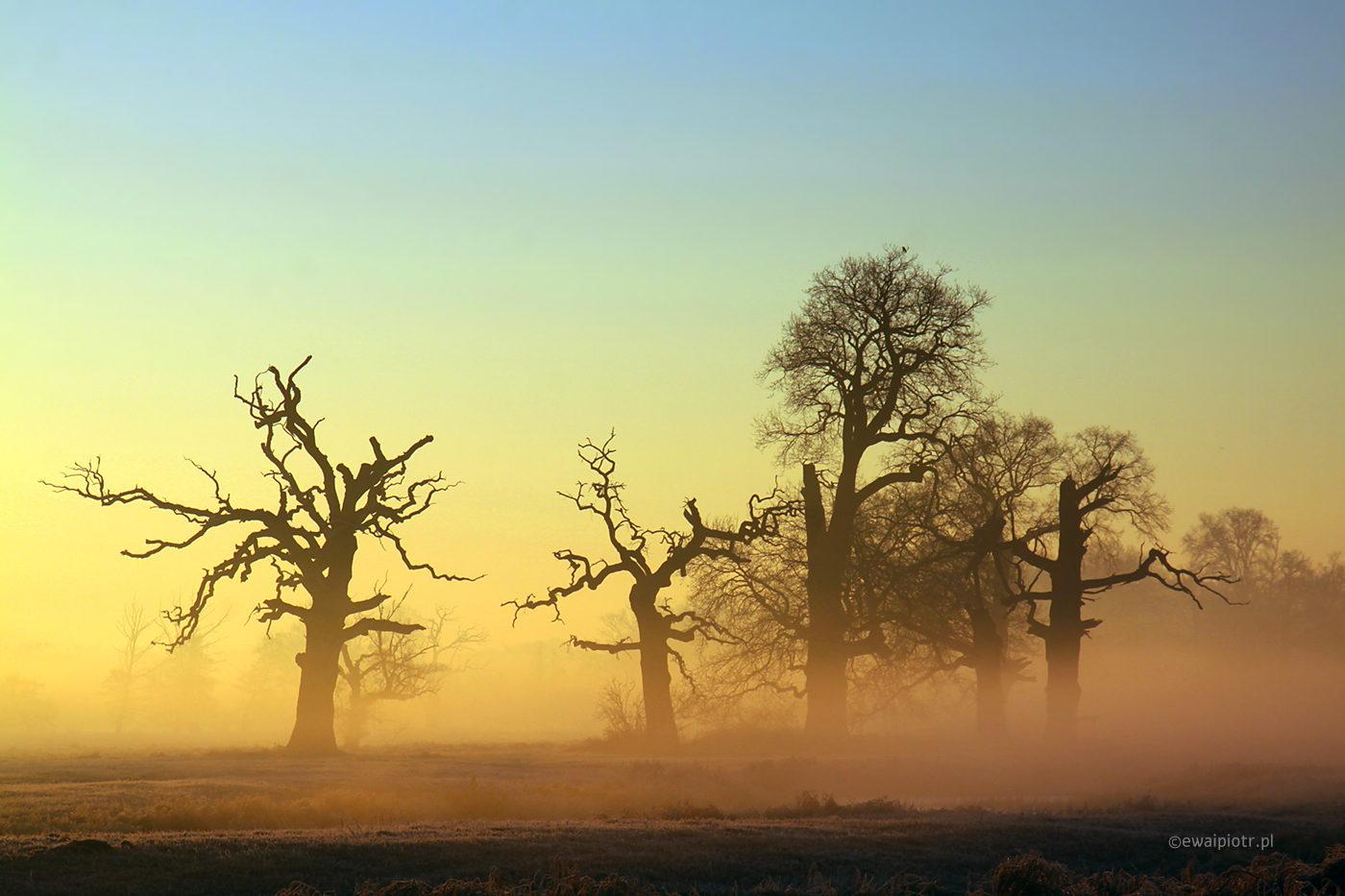 Mrożny poranek, Rogalin, dęby, wschód słońca