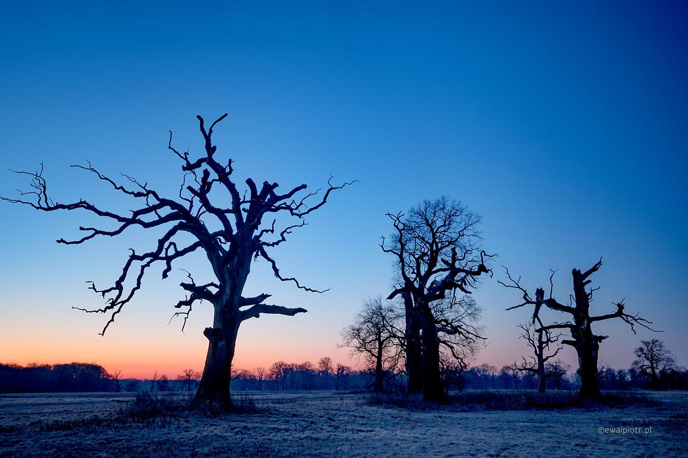 Niebieski poranek, Rogalin, warsztaty fotograficzne, wschód słońca, dęby