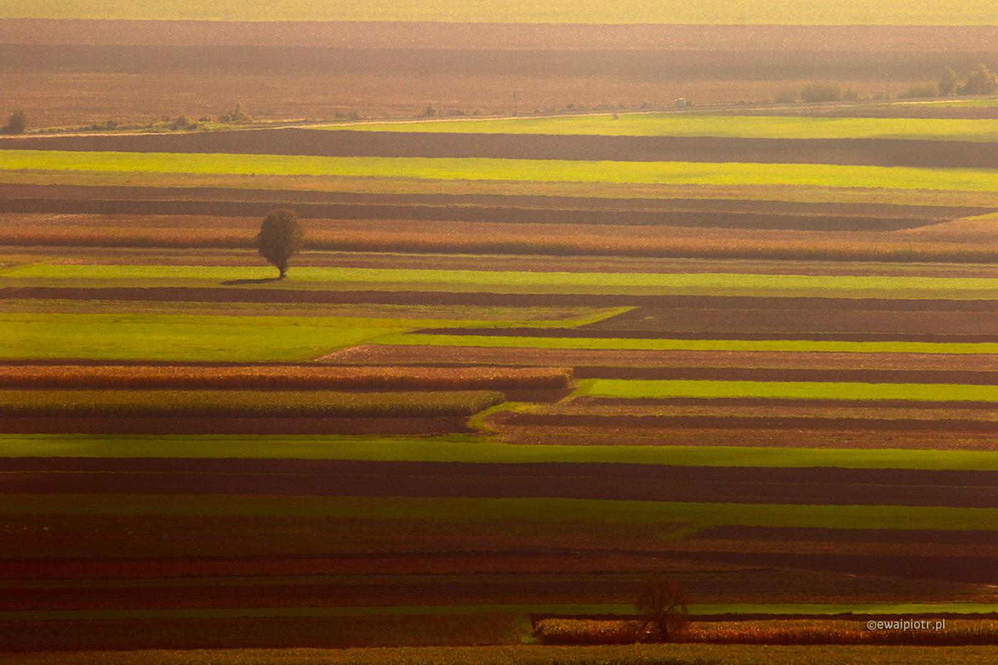 Pasiaste pole, Słowenia, samotne drzewo, kolorowe pasy
