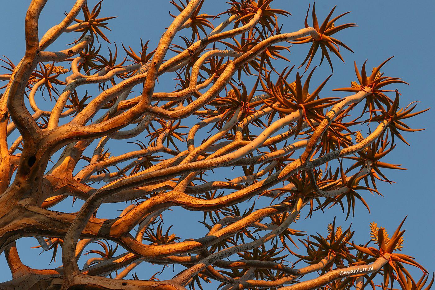 Drzewo kończanowe, Namibia, fotowyprawa