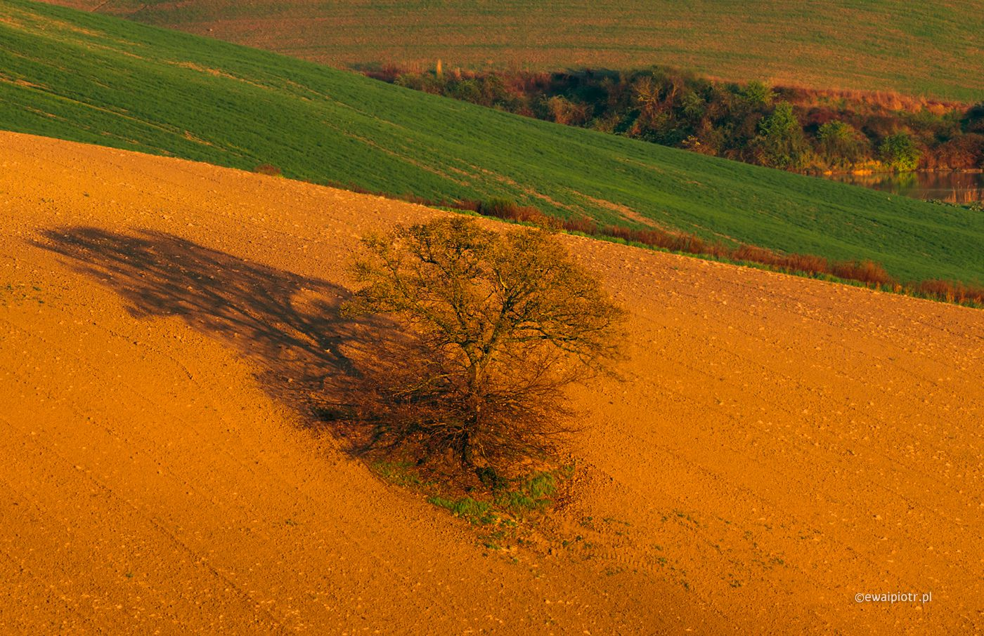 Drzewo i jego cień, Toskania