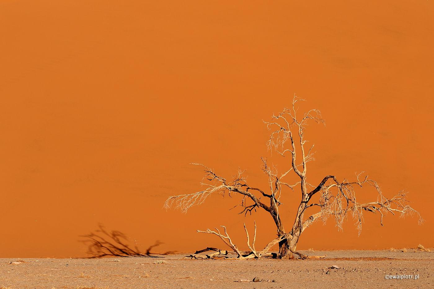 Drzewo i wydma, Namibia, pustynia, wyprawa foto