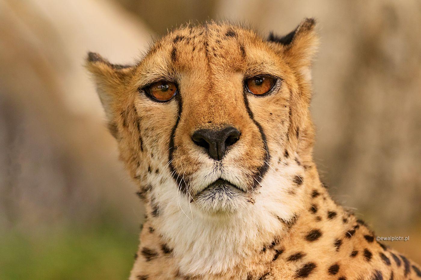 Czy gdzieś jest obiad? Gepard w Namibii