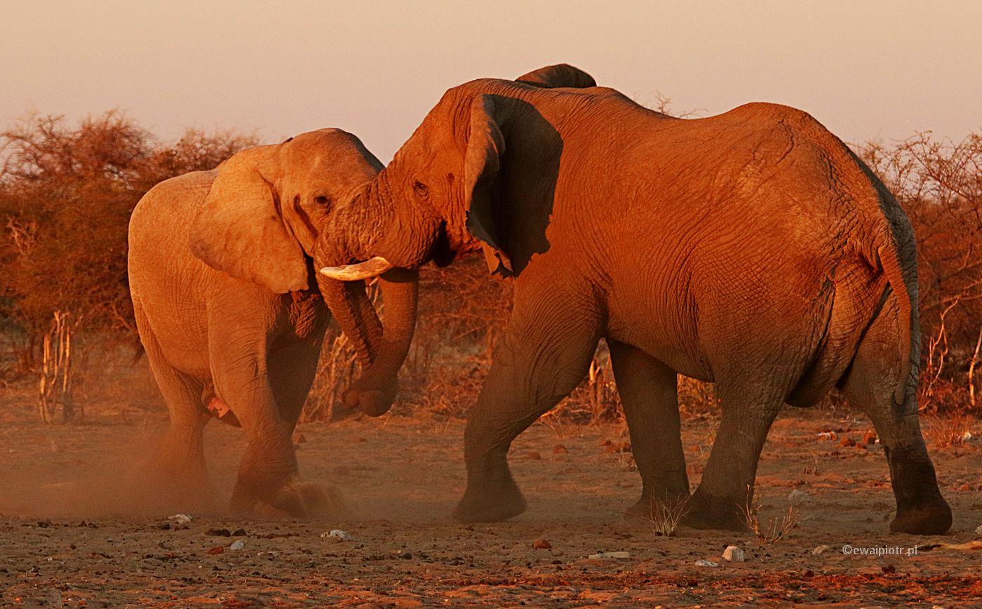 Słoniowe przepychanki, Namibia