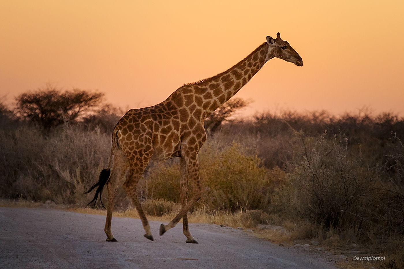 Żyrafa wieczorową porą, Namibia