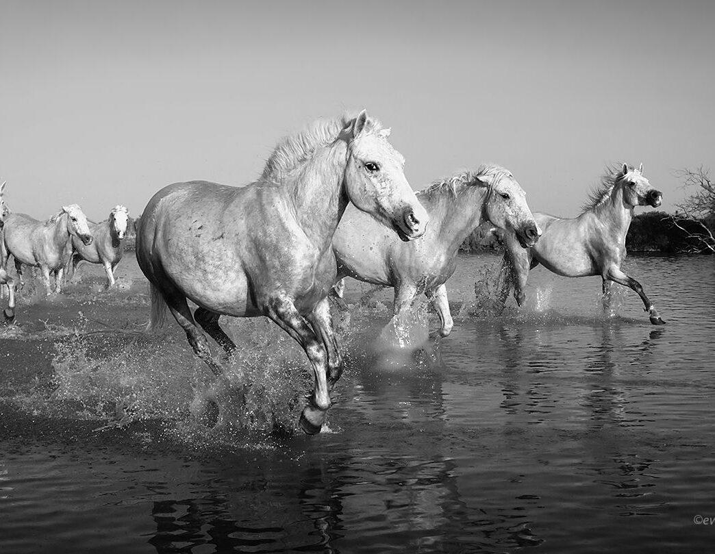 Konie z Camargue w czerni i bieli