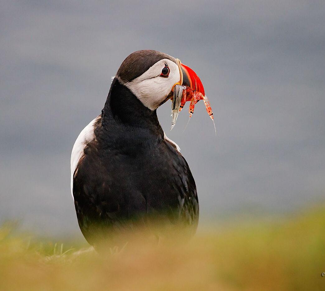 Maskonur i rybki, Wyspy Owcze, fotowyprawa