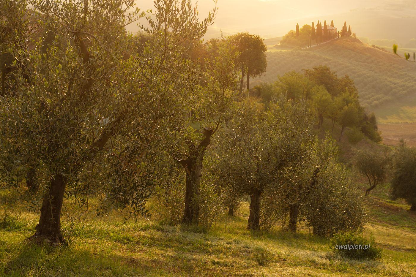 Belvedere przez gaj oliwny, Toskania, warsztaty fotograficzne