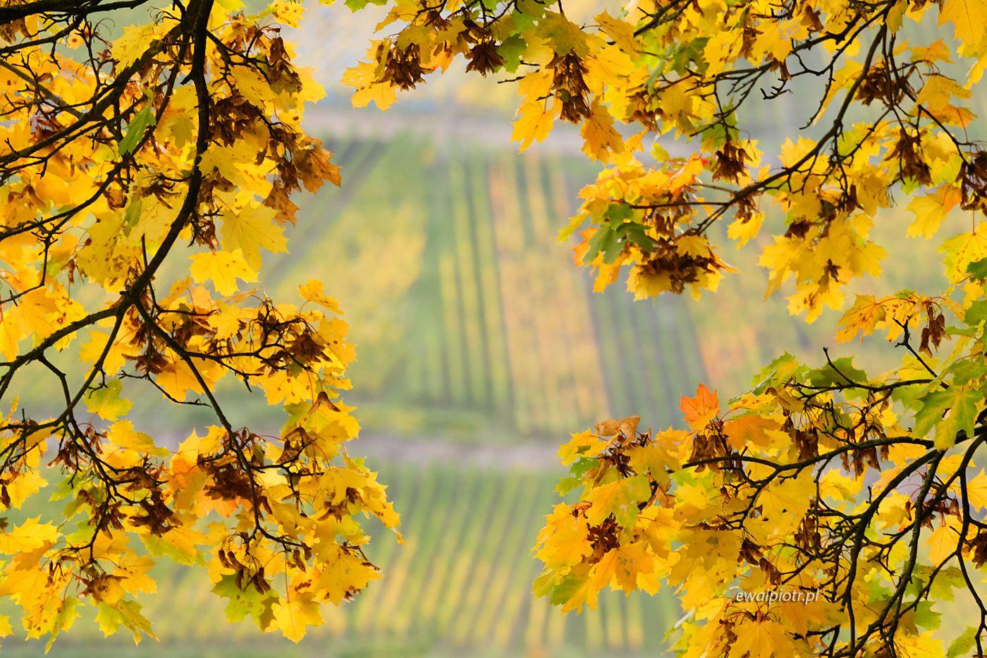 Winnice i jesień, Złoto Renu, fotowyprawa
