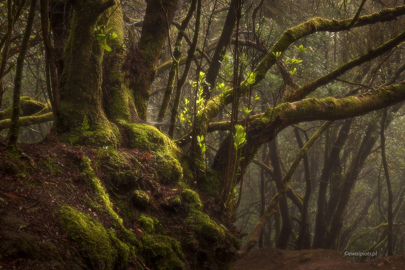 Lasy laurowe na Wyspach Kanaryjskich