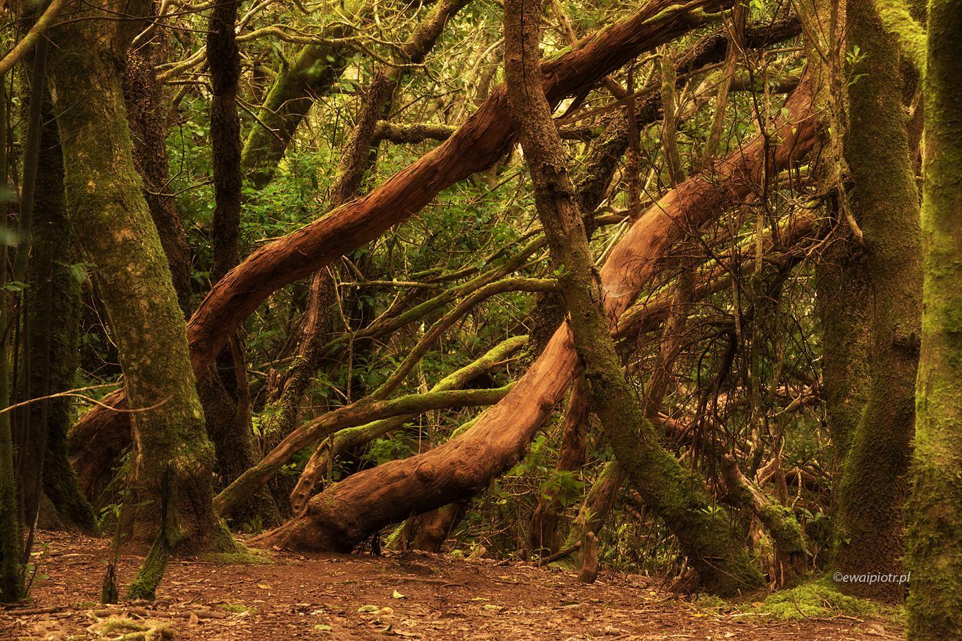 Las wawrzynolistny, Teneryfa, Wyspy Kanaryjskie, drzewa, laurasilva, omszałe drzewa