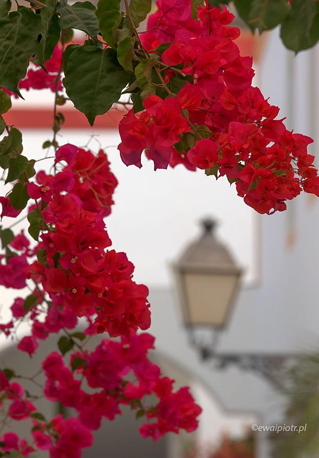 Kwiaty z Puerto Morgan, mała Wenecja, Gran Canaria, Wyspy Kanaryjskie