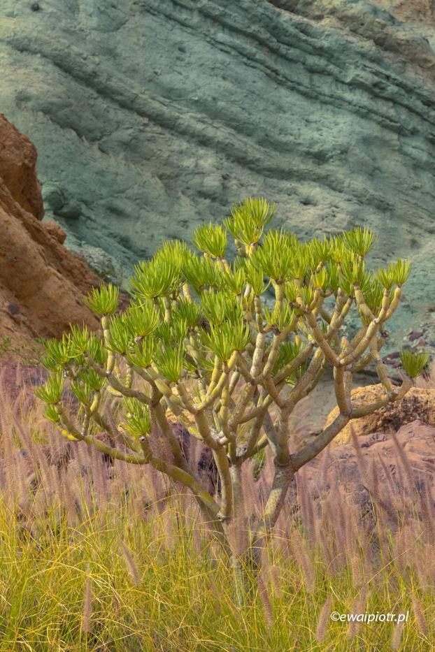 Smocze drzewo i błękine skały, Gran Canaria, Wyspy Kanaryjskie