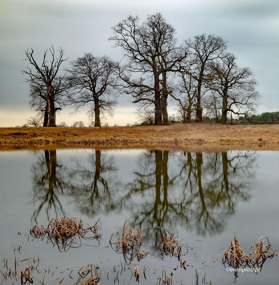 Drzewa w pochmurny dzień, Rogalin