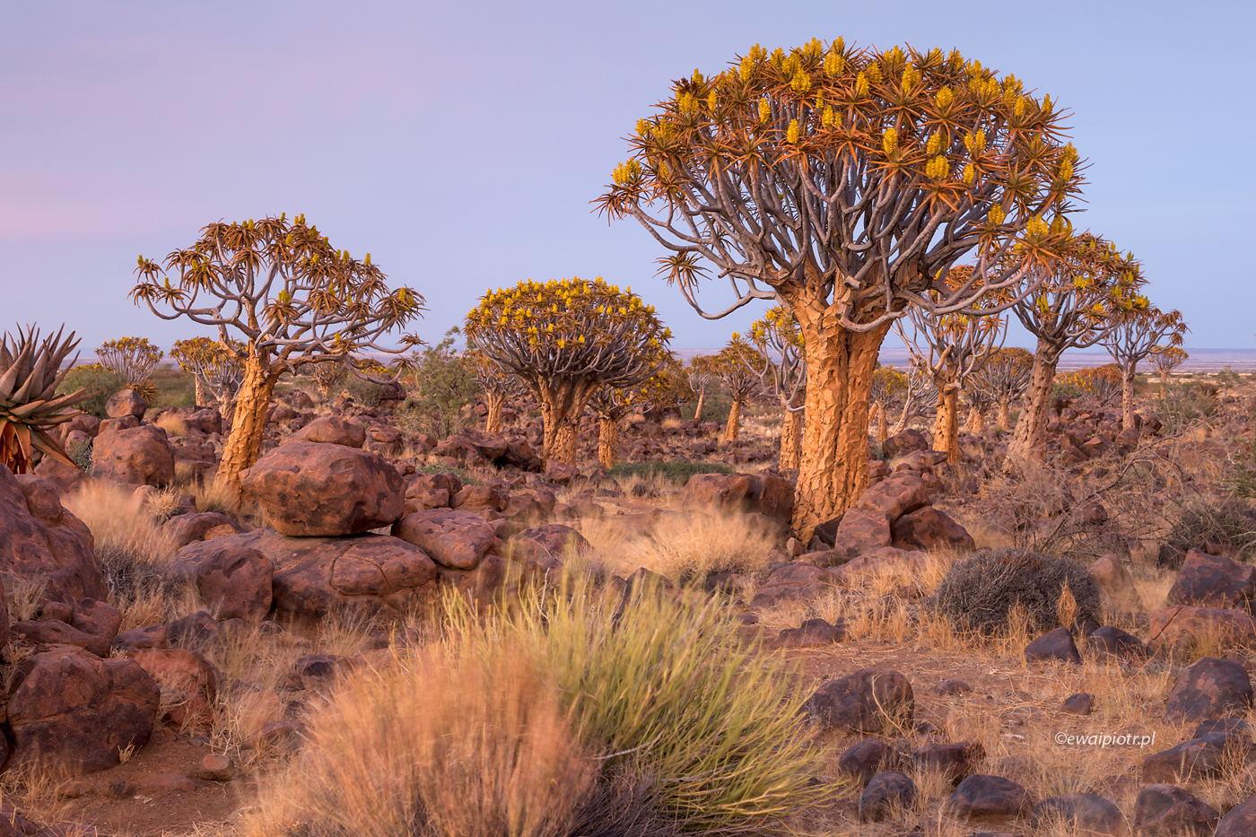 Las Kołczanowy w Namibii