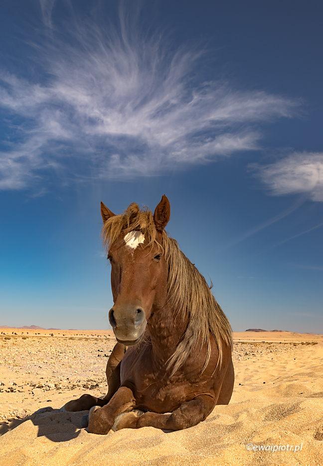 Dziki koń namibijski