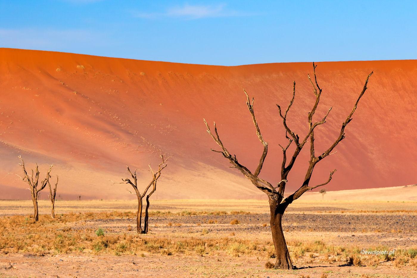 Drzewa pustyni Namib, zoom nożny, perspektywa a wielkość