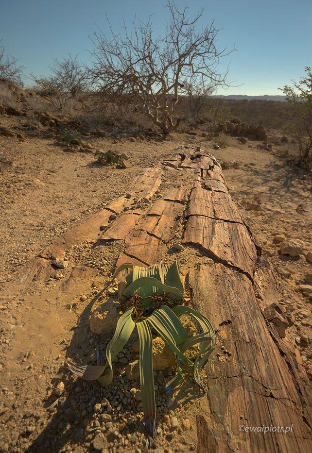 Trzystuletnia welwiczja i milionletnie drzewo, Namibia