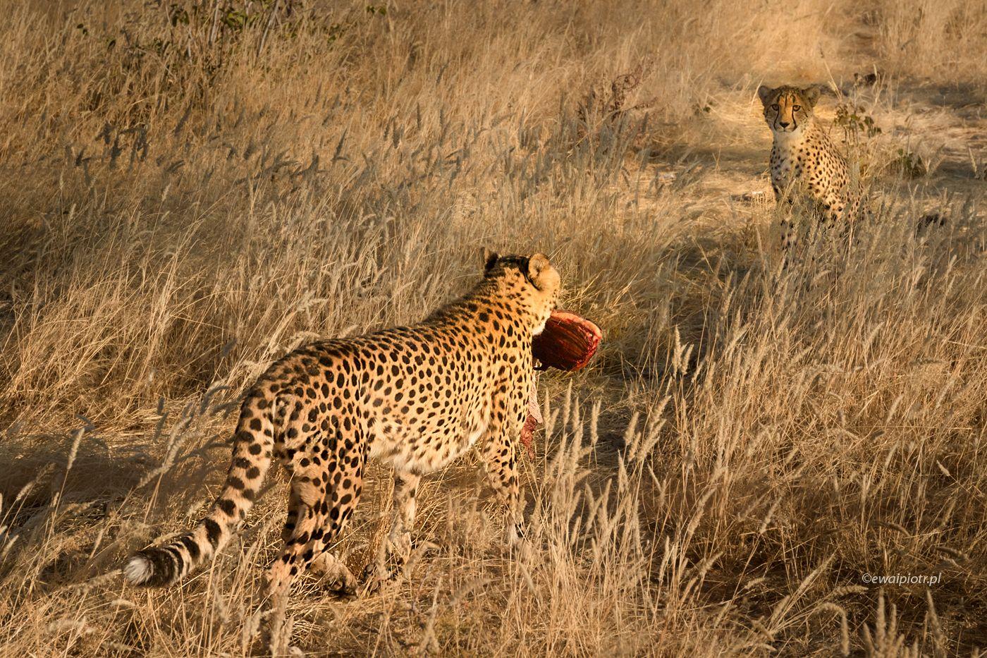 Karmienie gepardziego dziecka, Namibia