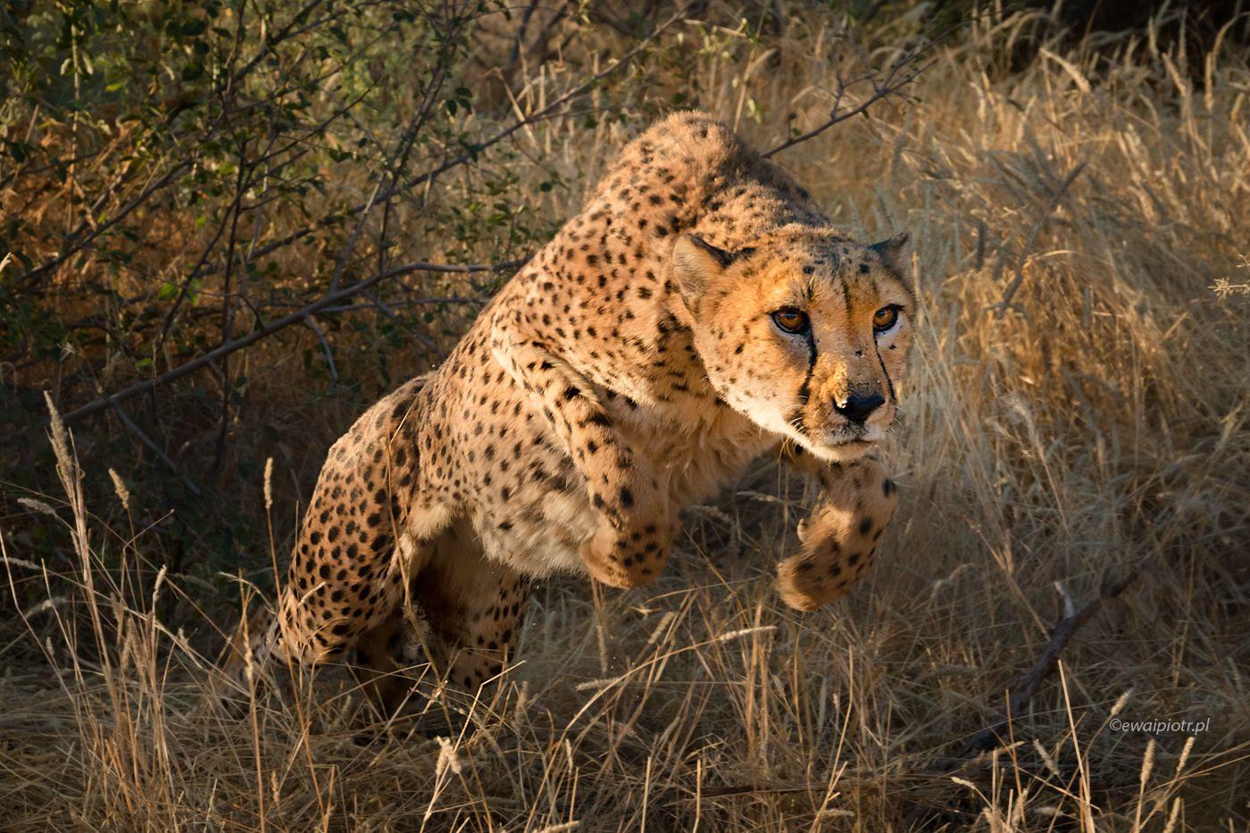 Bliskie spotkanie z gepardem, Namibia
