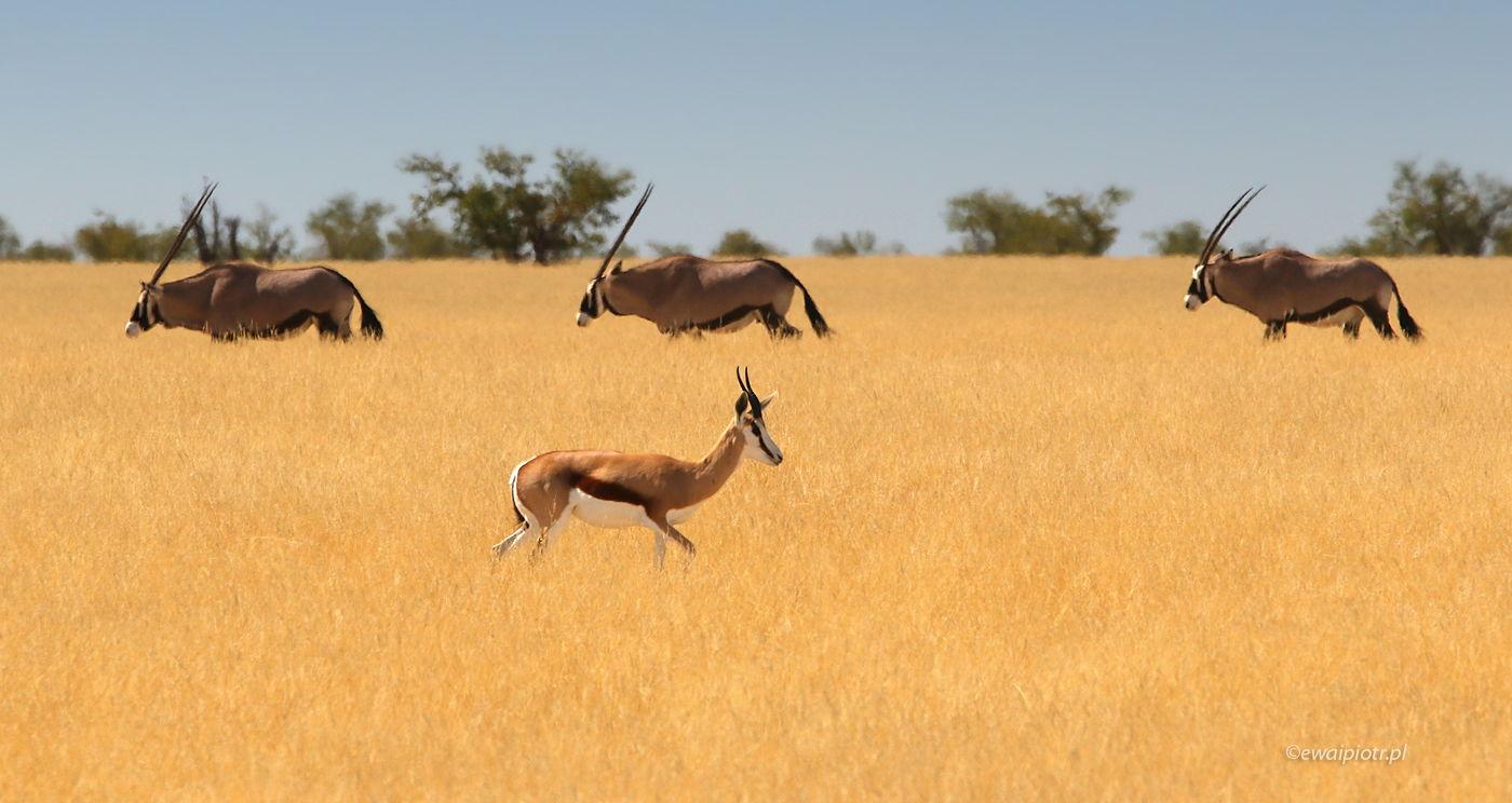 Antylopy w Etoszy, Namibia