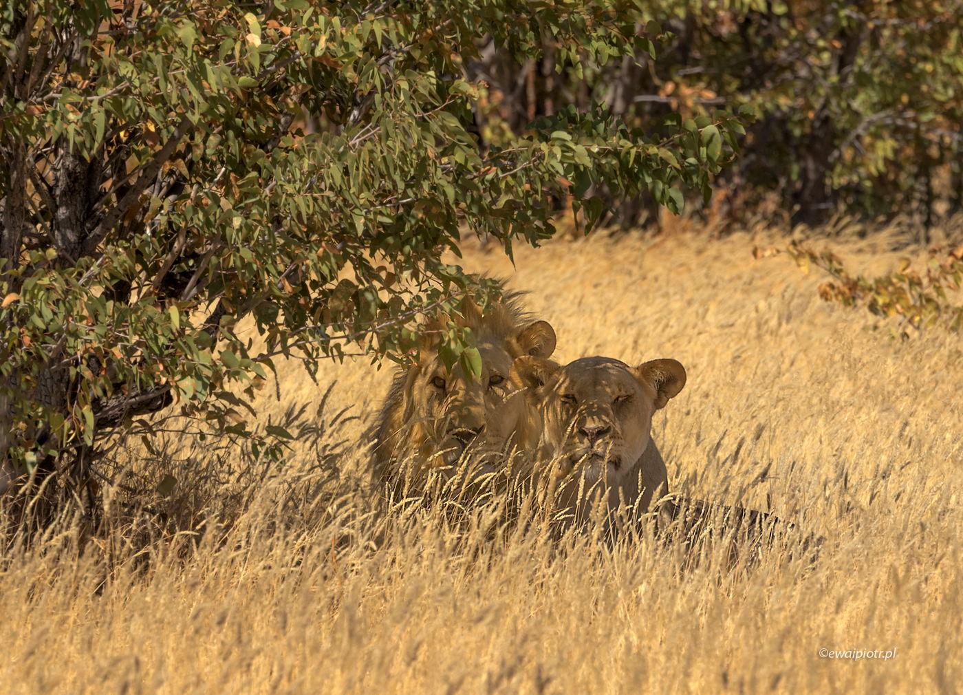 Lwy w Etoszy, Namibia