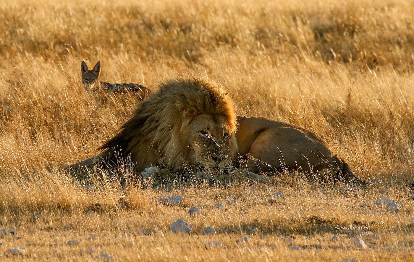 Lew i szakal, Namibia