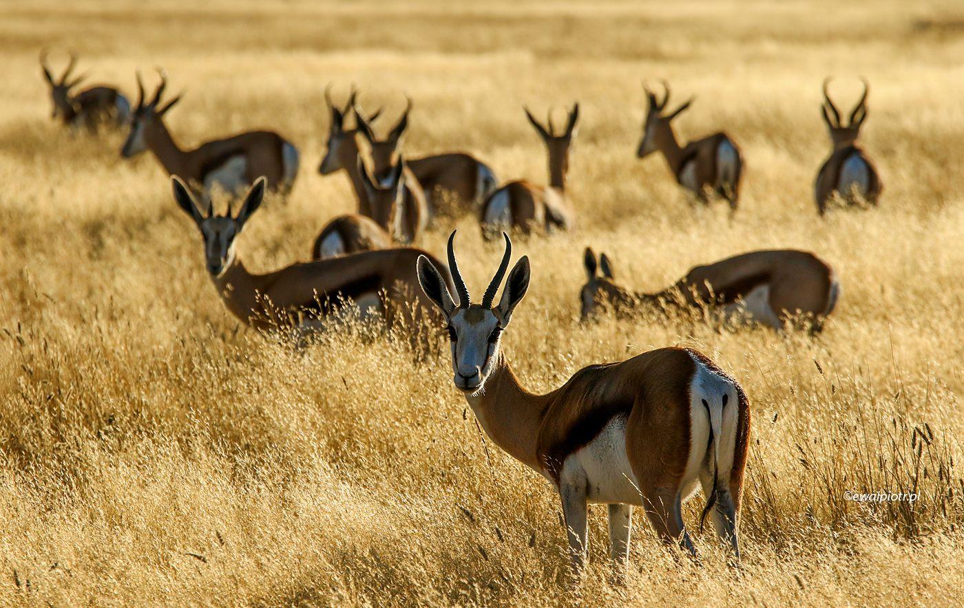 Klucz antylop, Namibia