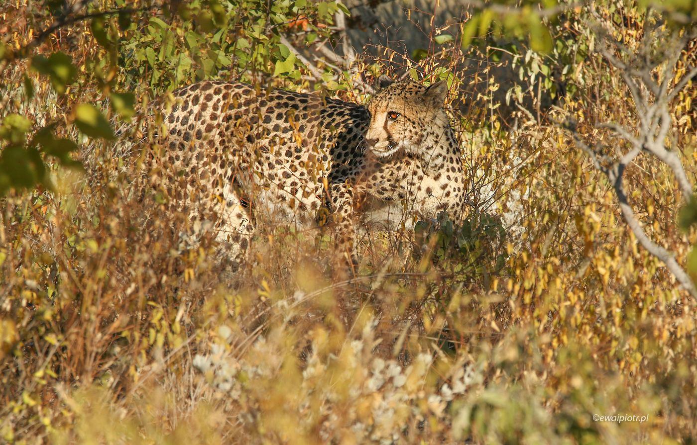 Z cyklu: znajdź kotka. Namibia